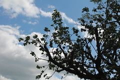 Apple tree (Joybot) Tags: blue sky tree apple leaves silhouette clouds spring branch blossom branches boom appletree