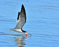 Skimmer skimming (dina j) Tags: bird florida wildlife skimmer honeymoonisland shorebird blackskimmer floridawildlife floridabirds