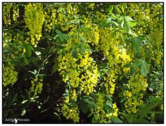 Het geel van gouden regen. (Astrid1949) Tags: lente geel voorjaar goudenregen coth mygearandme ringexcellence