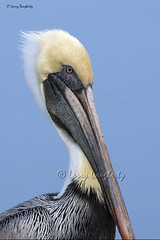 Pelican portrait..........D800 (Larry Daugherty) Tags: bird nature fly wings nikon louisiana feathers aves pelican animalia d800 metairie pelecanidae pelecaniformes pelecanusoccidentalis chordata indianbeach divingbird nikond800 saariysqualitypictures bonnabelboatlaunch mygearandme photoshopcs6 nikon500mmf4lens newbonnabelplace