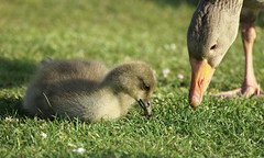 A mother and child reunion... (SteveJM2009) Tags: park uk light baby sun colour cute beauty grass june focus dof feeding sweet bokeh head beak fluffy down goose dorset gosling grazing poole anseranser stevemaskell greylag 2013