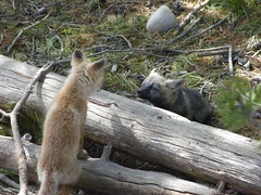 Wild Baby Foxes (silverd2015) Tags: park red wild orange baby cute bay pups grant den national fox cubs teton colter interacting