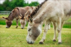 162/365 (denny57uk) Tags: donkey 365 eatinggrass project365 redwingshorsesanctuary