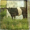 """Oreo Cookie"" Cow (Passion4Nature) Tags: texture animal barn fence cow cattle michigan pasture upnorth ie boynecity beltedgalloway oreocookie moonseclipse magicunicornverybest"