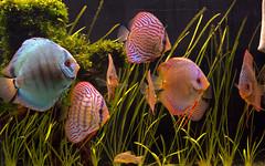 Aquarium fish (Tilemahos Efthimiadis) Tags: fish water 510fav aquarium tank 100views 200views fav 50views    superhearts platinumheartaward
