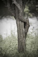 monkey climbs tree (Ray Byrne) Tags: tree monkey climbing ape riverbank raybyrne selfhugging byrneoutcouk webnorthcouk