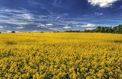 rapeseed landscape near Winchester, U.K.