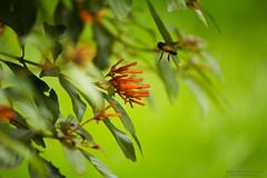 Hover (Saurav Pandey) Tags: park india flower nature insect bangalore redhead bee flowering nectar pollen karnataka honeybee lalbagh pollination firebush hummingbirdbush hameliapatens scarletbush anthophila