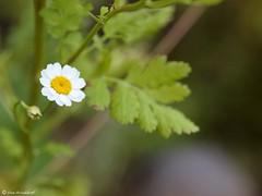 Tanacetum parthenium (Makromaus_Ahrweiler) Tags: macro nature makro asteraceae tanacetumparthenium asterales naturaufnahme asteroideae korbblütler zierkamille mutterkraut asternartige featherfoil featherfew synchrysanthemumparthenium röhrenundzungenblütler