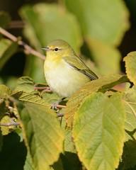 2012-09-16 Wooded Island 6 (JanetandPhil) Tags: birds nikon nikkor tennesseewarbler chicagoil d4 jacksonpark chicagoparkdistrict woodedisland 600mmf4 oreothlypisperegrina 2012forestpreservesvariouslocations