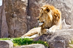 Siesta del Len (Photos by Marc) Tags: brown animals canon beige raw wildlife lion safari canon70200f4l cameraraw canon50d canonef70200mmf4lisusm canonef70200mmf40lisusm