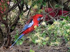 new visitor (sth475) Tags: winter bird home nature fauna backyard native wildlife australia nsw rosella wollongong easternrosella illawarra