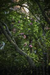 L1001341 (sswee38823) Tags: street leica flowers flower boston ma massachusetts bostonma beaconhill noc leicam noctilux095 noctiluxm50mmf095asph