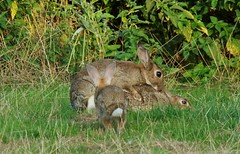 Hey, whatcha doin'? (-Porsupah-) Tags: wild rabbit bunny sex three wildlife young mating leporidae oryctolaguscuniculus