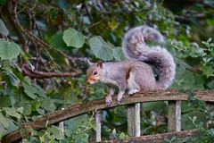 Squirrel with swishy tail (Phoenix Leo) Tags: squirrel tail swishy swishing