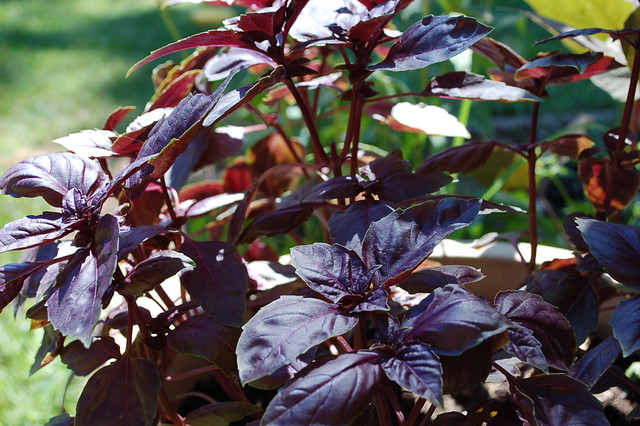 Image of Purple Basil