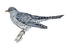 Common Cuckoo (Watercolor) (jeanchristophegueguen) Tags: illustration pencil watercolor painting paint aquarelle dessin peinture draw crayon common cuckoo coucou naturalist guc cuculus canorus jeanchristophe commun 2013 gueguen