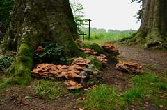 Fungi Mushrooms (JaapCom) Tags: camera autumn trees mushroom forest mos landscape mushrooms bomen woods nikon close herfst boom blad ups van bos landed jaap paddestoel paddenstoelen landgoed jaargetijden wezep ijsselvliedt werven d5100 pedded jaapcom