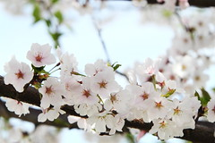 Cherry Blossom (Benny2006) Tags: pink white flower dc cherryblossom canon70200f28is canont1i