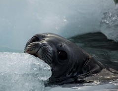 DSC_1461.jpg (Ashley.Cordingley1) Tags: sea storm elephant cold ice birds giant fur penguin extreme leopard seal british remote whales orca petrol wilderness humpback survey albatross antarctic peninsular weddell crabeater wilsons