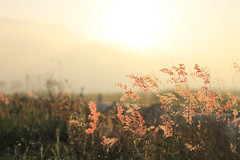C lau (Bt Ch 7B) Tags: summer sky orange plants sun reed beauty grass sunrise vintage wonderful 50mm soleil asia wind good country vietnam belle asie freetime t libre nam danang lau vitnam p vit c bng clau nng mywinners 1100d pht mintrung dulichvietnam bnglau arundinaceum bonjourvietnam dulichvietnam360