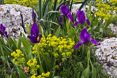 Mountain rock garden (Keith now in Wiltshire) Tags: iris mountain flower nature rock outdoor limestone euphorbia
