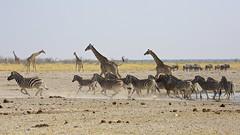 The rush I (proefdier) Tags: africa nationalpark afrika giraffe namibia etosha giraffacamelopardalis
