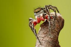 Colorful Jumper (Sean McCann (ibycter.com)) Tags: spider colorful pretty american redwhiteandblue jumpingspider salticidae habronattusamericanus salitcidae