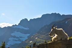 Claire Dal Nogare - Glacier goat