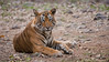 Early Morning Tiger Visit (Raymond J Barlow) Tags: travel wildlife tiger adventure indiatour phototours raymondbarlowtours