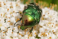 Gemeiner Rosenkfer (planetvielfalt) Tags: deutschland coleoptera sachsenanhalt scarabaeidae cetoninae polyphaga scarabaeiformia beifreyburg