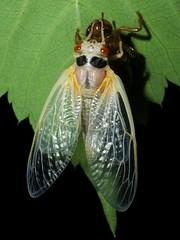 So it begins(5 of 5) (Urutu_From_SW_PA) Tags: cicada magicicada periodicalcicada magicicadaseptendecim 17yearperiodicalcicada