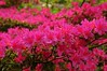 Azaleas in bloom (Vee living life to the full) Tags: flowers public birds yellow gardens wales flora landscaping may blumen chick parent british wagtail 2015 isleofanglesey nikond300 plascadnant shootaboot shootaboot2