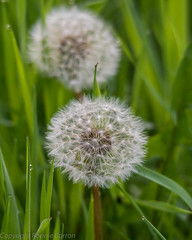 dandelions and dewdrops (RCB4J) Tags: flower art nature photography scotland flora dandelion dewdrop dew ayrshire llll dandelionclock naturethroughthelens sigma150500mmf563dgoshsm ronniebarron rcb4j sonyilca77m2