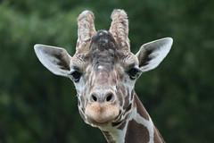 giraffe Giraffa camelopardalis-27.jpg (thekidfromcrumlin) Tags: june us md unitedstates maryland baltimore giraffe 14th 2015 giraffacamelopardalis marylandzoo