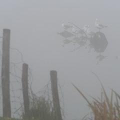Meeuwen in de mist (nikjanssen) Tags: mist meeuwen gulls reflections nature