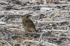 horned lark (kallo39) Tags: bird hornedlark