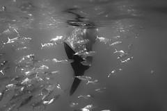 Hunting (Takumotion) Tags: underwater monochrome takumotion travel shark whaleshark philippines sea
