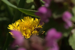 2016_04_03_03093 (bencze82) Tags: canon eos 700d voigtlnder apolanthar 90mm f35 slii kert garden termszet nature macro makr flower virg tavasz spring