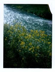 toothleaf goldeneye along the verde (EllenJo) Tags: polaridweek october2016 polaroid instantfilm ellenjo ellenjoroberts colorpack3 landcamera fujifp100c