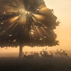 Stag-gering (Chaitanya Deshpande | Photography) Tags: stags stag red deer tree light morning ukwildlife