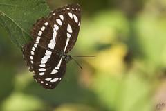 IMG_8722-2 (Jamil-Akhtar) Tags: canon6d tamron 200400 canon500d closeuplens nature macro insect butterfly pallassailer neptissappho islamabad pakistan