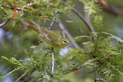 tennessee warbler ( explored ) (G_Anderson) Tags: stlouis missouri fall migrating warblers birds tower grove
