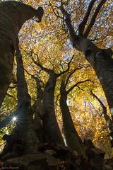L'abbraccio della natura (ambrasimonetti) Tags: canfaito elcito sanseverinomarche macerata italy alberi forest wood faggi faggete autunno autumn rami leaves saveearth
