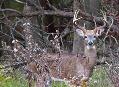 Autumn Buck (Tiara Rae Photography) Tags: buck deer whitetail male antlers hunting wildlife lake zorinsky omaha nebraska
