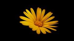 Sor bana iei - galapagos stepleri (ercanpolat) Tags: flowers flower sar yellow cicek iek nature natural macromondays macromondaysdailyrutins macro