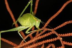 IMG_4323(1) (Roving_photographer) Tags: tettigonidae caedicia simplex lanecove national park sydney newsouthwales australia nsw katydid nymph