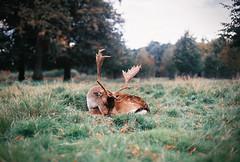 (Bazzerio) Tags: deer adventure sleeping bazzerio 35mm analogue vintage travel animal documentary autumn film