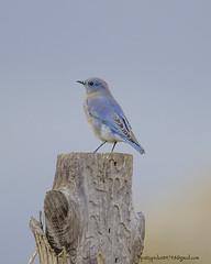 mountain bluebird (Pattys-photos) Tags: mountain bluebird