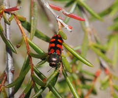 Jewel Beetle front (ron_n_beths pics) Tags: westernaustralia buprestidae jewelbeetles perthbushlands